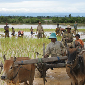People working in rice paddy in Cambodia